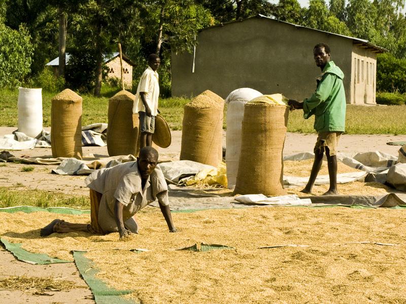 24 Men drying rice in sun in Buturere, Bujumbura Rural Commune, Burundi, in 2005