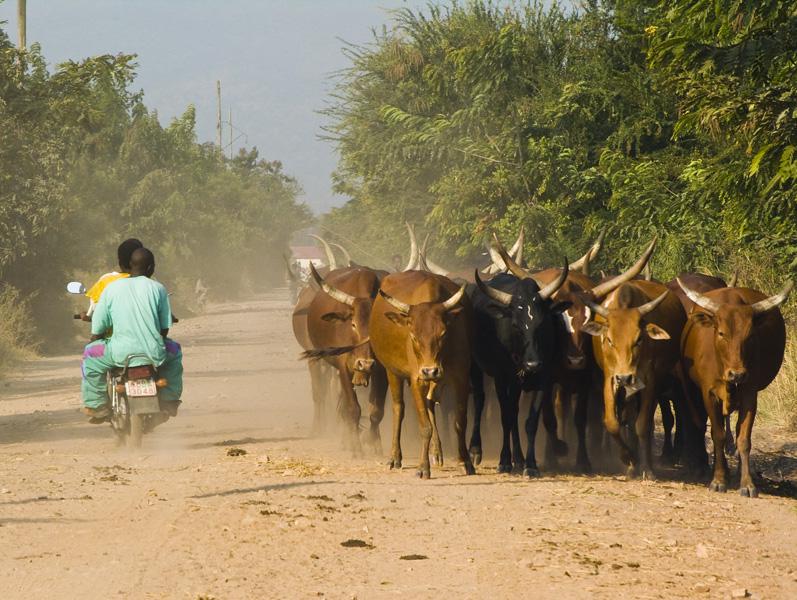 23 Cattle of bulls in Buturere, Bujumbura Rural Commune, Burundi, in 2005