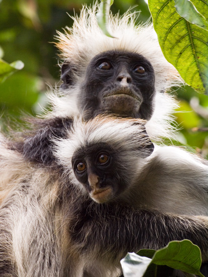 Red Colobus Monkeys, Jozani Forest