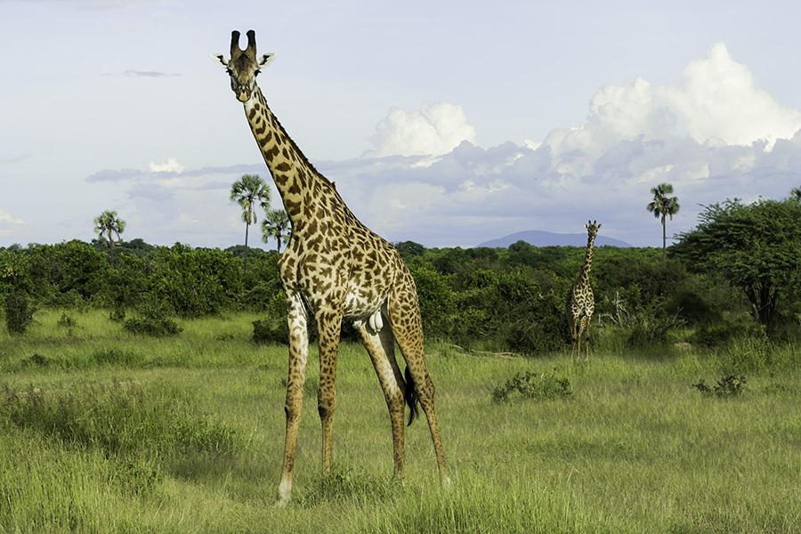 Big boy giraffe with companion in background