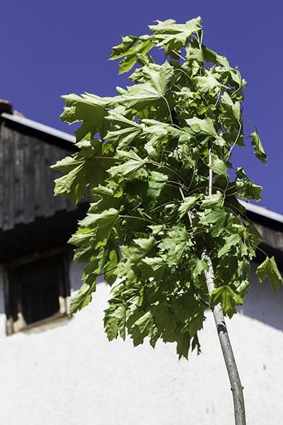 002 Sapling  in Hoçë e Madhe/Velika Hoča, Kosovo