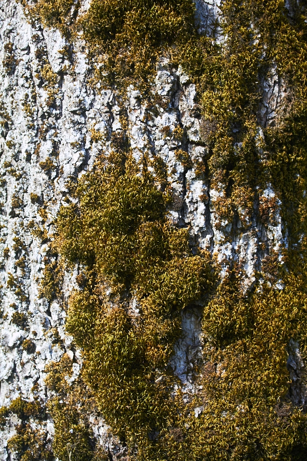 006 Moss growing on tree, Fjære Church -- Grimstad, Sørlandet, 2014