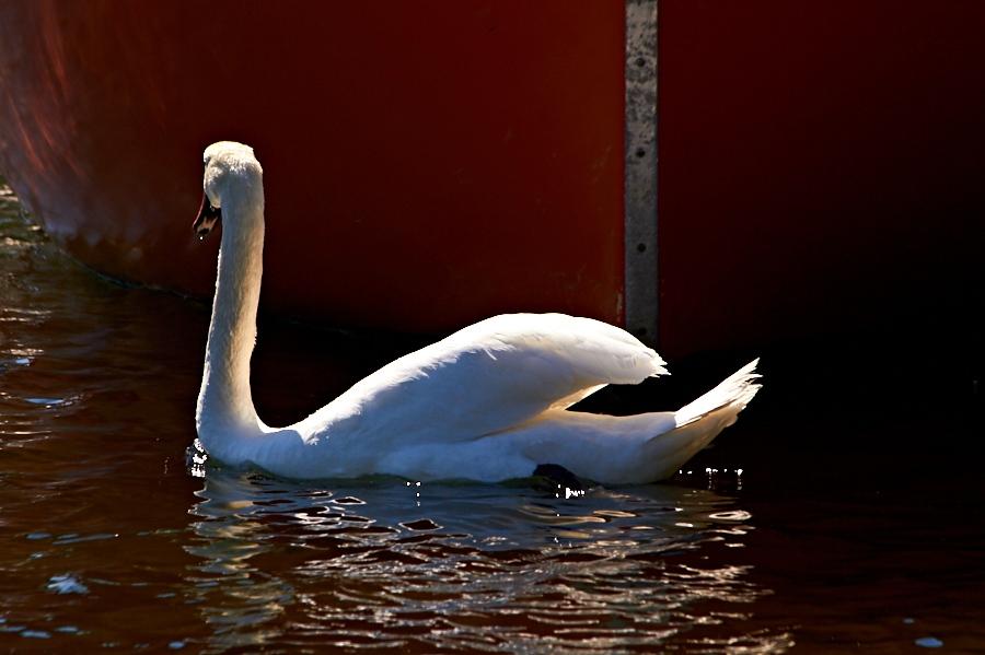 010 Swan in harbor in Grimstad, Sørlandet, Norway